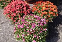 Blooming Flowers & Information! / Flowers from employees or customers that were purchased at The Mill! B-E-A-U-TIFUL Pics!! Also Decorating Tips and Ideas from customers and employees!