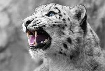 # Animals # Wildcat # Snow Leopard / # Animal # Wildcat # Snow Leopard