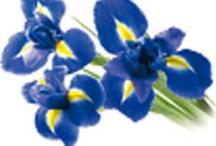 Iris Florentina Bio Fiori Linea Erboristica