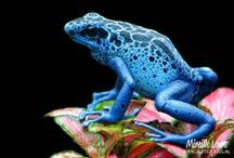 AMPHIBIANS / See here the bright colored frogs from the rainforests