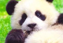 I love this animale! / Panda..