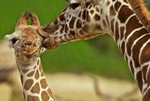 Giraffes / by Kimberley =^..^=