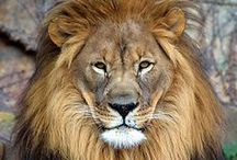 Lions and other big cats