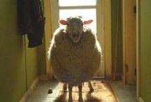 Sheeps <3