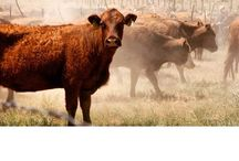Happy Cows / Our Red Devon Cattle are raised in Northern most parts of Arizona called the Arizona Strip. They graze on 250,000 acres of this desolate land. While they're managed with passion and care we don't see them much allowing a low stress high quality life. Beef.bar10blog.com