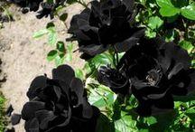 WONDERFULL ROSES /  Immagini di rose