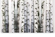 Birke, Holz  und Äste
