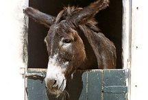 Asini   Donkey