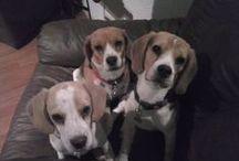 Mis orejones Beagles <3