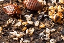 Pictures of Bed  Bugs / Pictures of all stages of the bed bug like cycle. Eggs, first stage nymph and adult bed bugs.