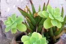 Succulents ~ Xeriscaping / by ღ Angelica ღ
