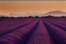 Levanduľa / Lavender