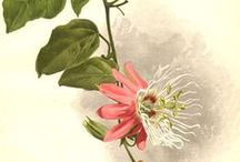 Passiflora Passion / by Judy Farris