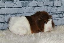 Guinea Pigs! :) / Great ideas/tips for happy Guinea Pigs :)