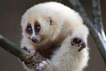 Lemurs, Loris, Tarsiers, Galagos