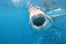 SHARKS / by William Nowell