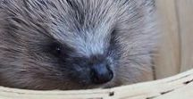 Hedgehog rescue and rehabilitation / Wild hedgehogs that I have cared for in my hedgehog hospital for sick and injured wild hedgehogs. Hedgehog rescue information and advice.