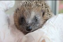 Hedgehog love / I love hedgehogs! Lots of pictures of wild hedgehogs and cute hedgehogs in my hedgehog hospital. Also lots of hedgehog crafts, hedgehog jewellery, hedgehog designs and ideas for things to make with a hedgehog theme.