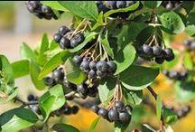 ROŚLINY LECZNICZE / HERBS / Zastosowanie roślin leczniczych w leczeniu, oczyszczaniu ciała, kosmetyce oraz w kuchni.