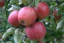 OWOCE W OGRODZIE / FRUITS / Jakie najsmaczniejsze owoce można uprawiać w naszym klimacie/ ewentualnie w szklarni/ ogrodzie zimowym.
