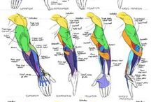 anatomy for artists / digital media arts college | www.dmac.edu | 561.391.1148