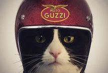 Biker Cats / My own ginger Hector the Biker Cat has his own board - he inspired me to find other cats on motorcycles. They are hilarious!
