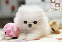 I ♥ Pomeranian's / by Elizabeth Lopez