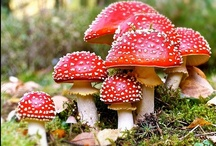 Fly Agaric love  [Amanita Muscaria] / by Deborah Bartlett (Rosenoff)