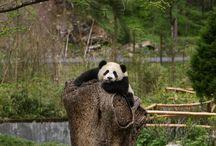 Pandy Bears / Panda panda panda! / by Charlee Brown