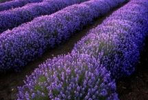 Events design. Lavender inspirations / Lavender inspirations for themed Mise En Table, Events and Ceremonies