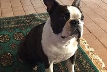 Boston Terriers / I currently have one Boston, Miss Lucy.  I lost my precious  Valentino in June 2014.  I just love and adore  the breed. This board is to honour the love and joy they have given me xxx  / by Natalie Van Wulven
