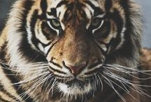 I Love Tigers