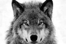 Wolves / Wolves everywhere are beautiful animals