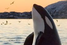 Whales / Loving admiring and respecting whales of every variety