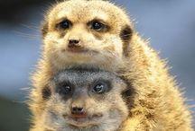 Meerkats