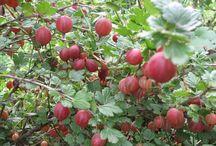 Ягода / Вред и польза ягоды
