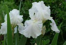 Irises are my favorite / by Karen Starbuck