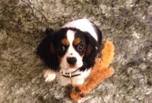 Is it time to get a dog?!? / Of course the answer is yes!! Charlie - my adorable Cavalier King Charles Spaniel is on this board along with TONS of things to get for any pampered pooch. / by Jenna Rose