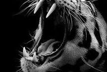 Koty (dzikie)