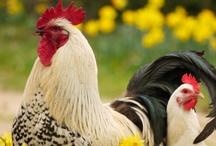 Chick, chick, chickens! / by Lori Hallisey Hrovat