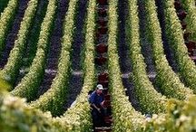 Wine Appreciation! / We cruise through the best grape-growing regions of France, such as Burgundy, Languedoc-Roussillon, Bordeaux and the Route des Vins d'Alsace.  There are trips to some of the most renowned domaines of the Côte de Nuits, Chablis and Sancerre regions, as well as to smaller family-run vineyards such as the 14th century Château de Perdiguier in the Midi and Villa Widmann-Borletti in the Po Valley in Italy.