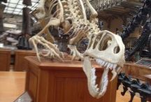 Referance skeleton / скелет рапорт динозавры анатомия Raptor skelet anatomy Paris museum foto