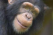 Affen liebe