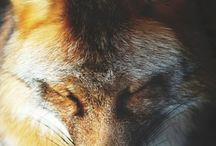 Foxy / Someday, I will own a pet fox.