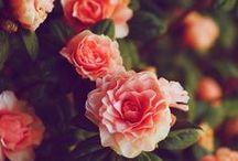 Rosae, rosarum, rosis.... / solo rose