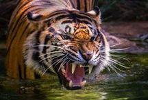 Big Cats / Great Big Beautiful Cats
