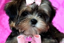 Shorkie's...cutest dogs on earth