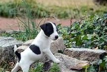 For Oreo the parson russell terrier