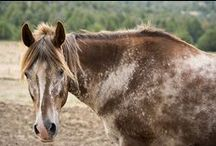 Our Appaloosas! / Meet the wonderful Appaloosas living at Humanity for Horses Sanctuary! To learn more, please visit our Appaloosa page on our website at: http://www.humanityforhorses.org/Appaloosas.html