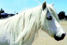 Minis and Ponies! / Meet the wonderful miniature horses and ponies living at Humanity for Horses Sanctuary! To learn more, visit our website at: http://www.humanityforhorses.org/minis.html